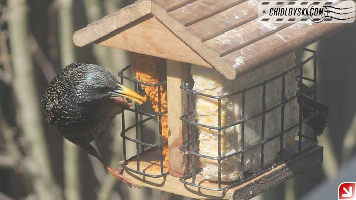 starling-004