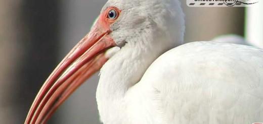 white-ibis-001
