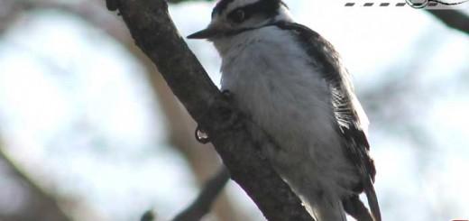 woodpecker-belle-001