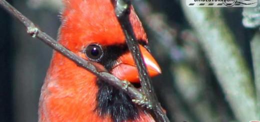 cardinal-belle-002