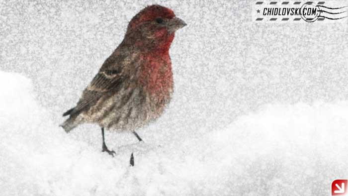 finch-snow