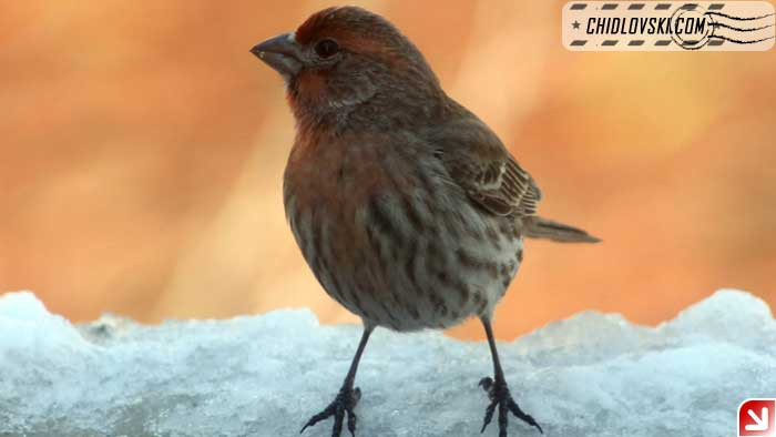 finches-07