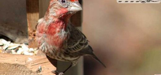 finches-08