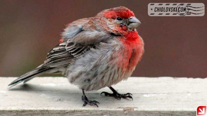 finches-09
