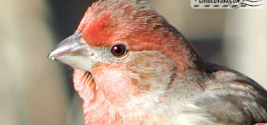 finches-10