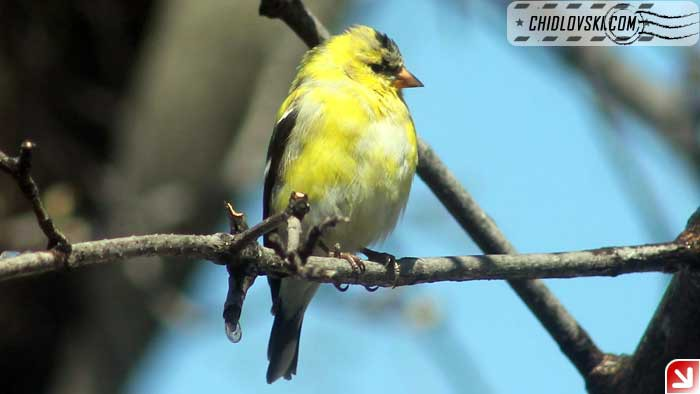 gold-finch-001