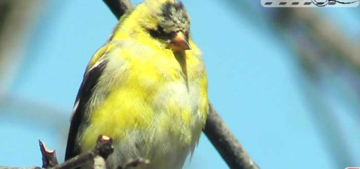 gold-finch-002