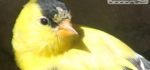 goldfinch-004