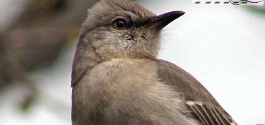 mocking-bird-001