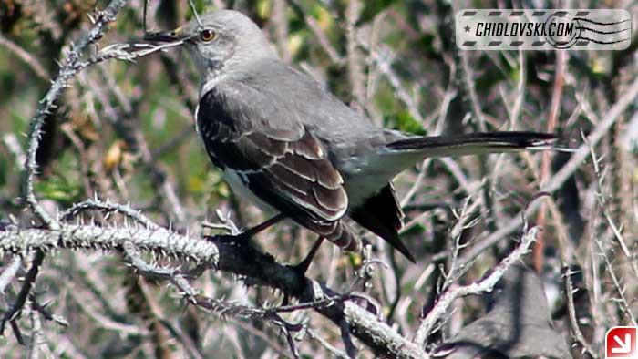mockingbird-16002