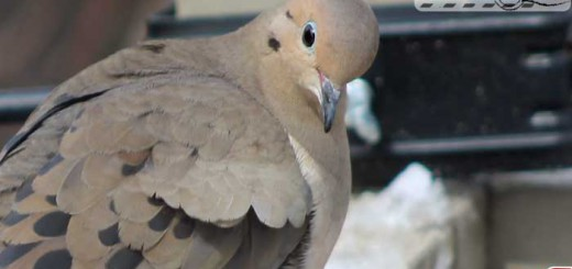 mourning-dove-09-002