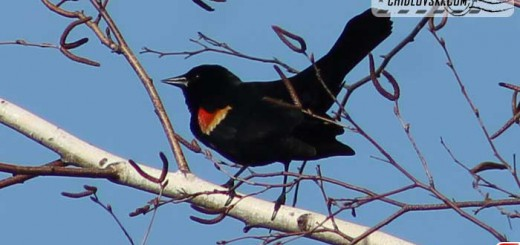 red-winged-blackbirds-001