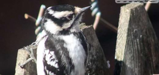 woodpecker-yard-004