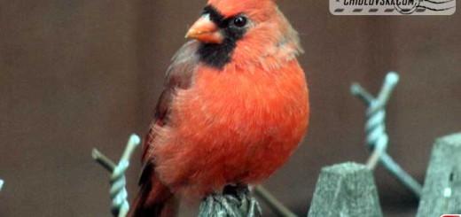 cardinal-16001