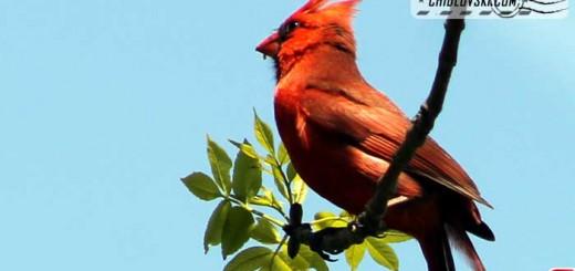 cardinal-16002