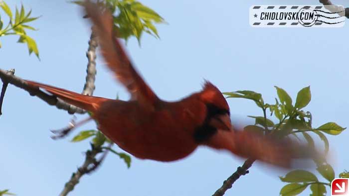 cardinal-16003