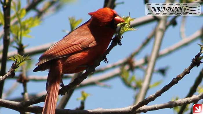 cardinal-16004