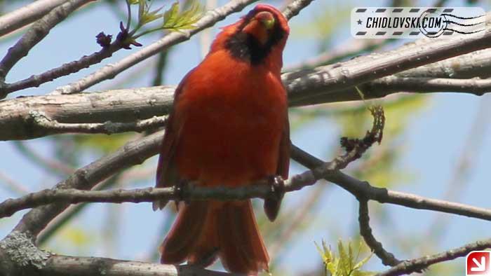 cardinal-16006