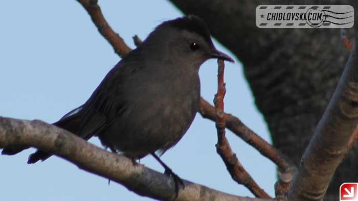 catbird-16002
