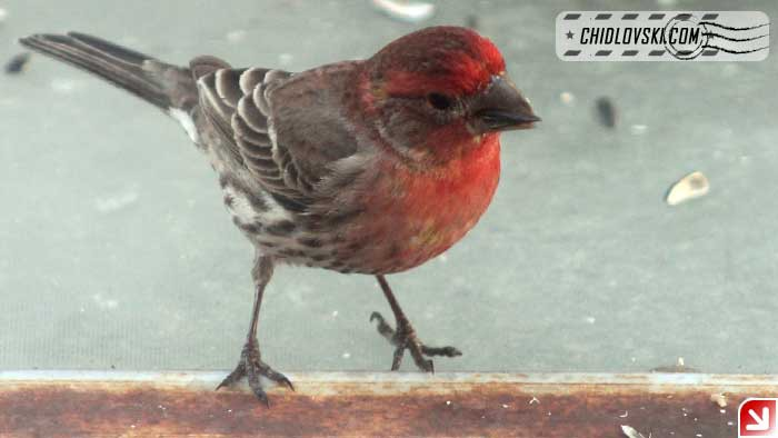 finches-11
