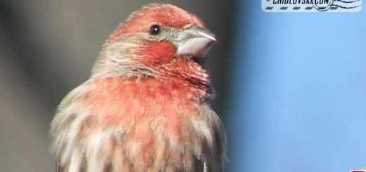 finches-12