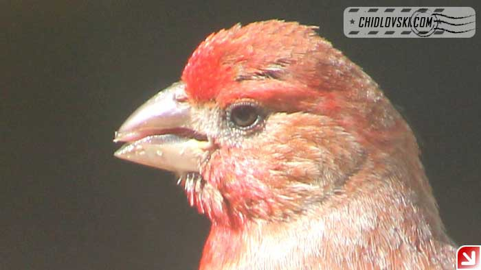 finches-13