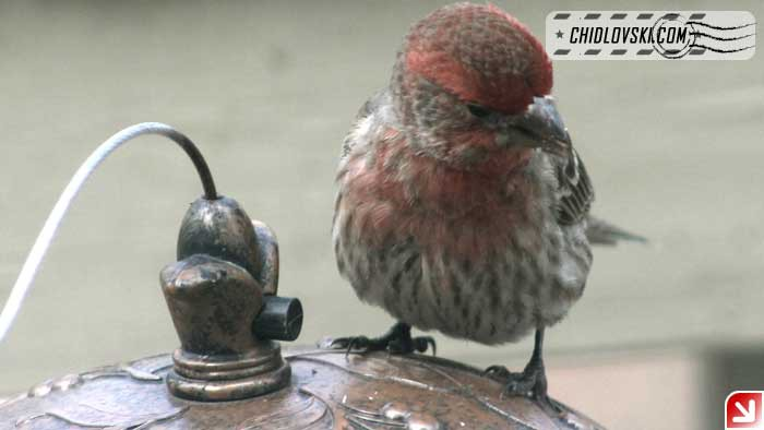 finches-14