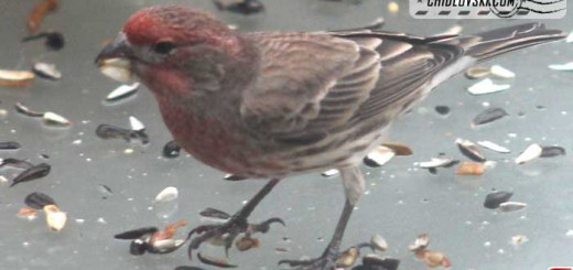 finches-15