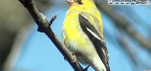 goldfinch-16003