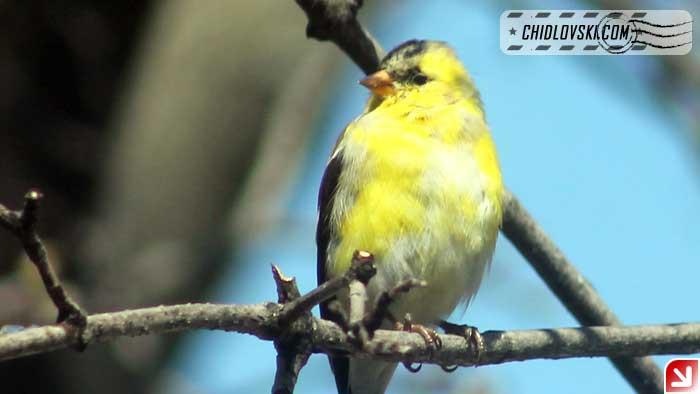 goldfinch-16004