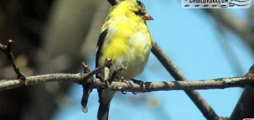 goldfinch-16006