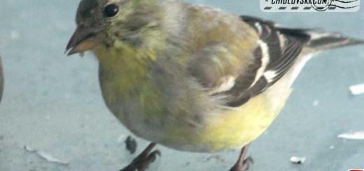 goldfinch-16007