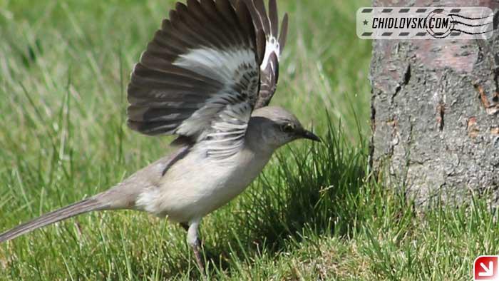 mockingbird-16003