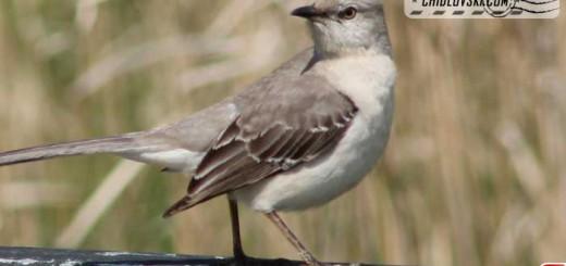mockingbird-16005