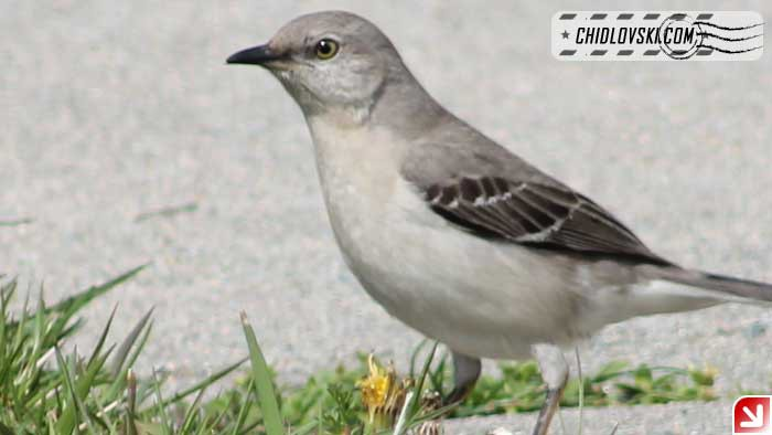mockingbird-16006