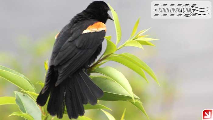 red-winger-16004