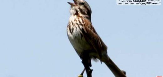 song-sparrow-16001