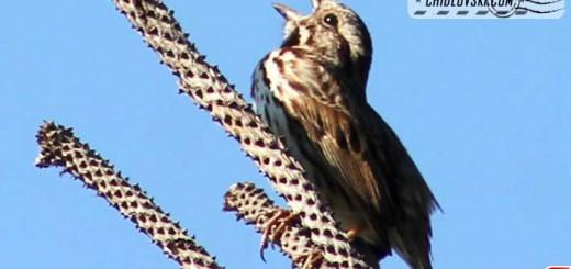 song-sparrow-16003
