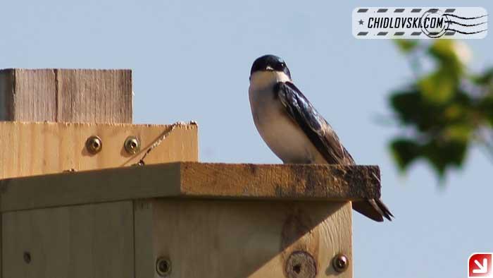 tree-swallow-16001