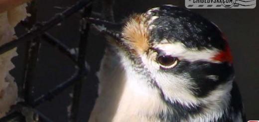 woodpecker-16001