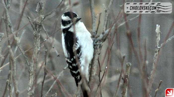 woodpecker-16003