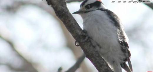 woodpecker-16004