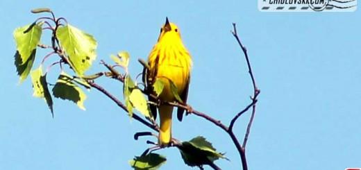 yellow-warbler-16001