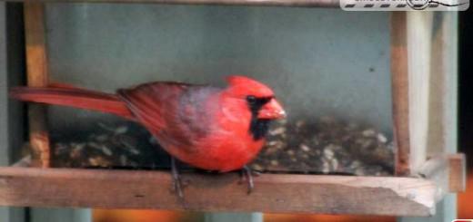 cardinal-16007