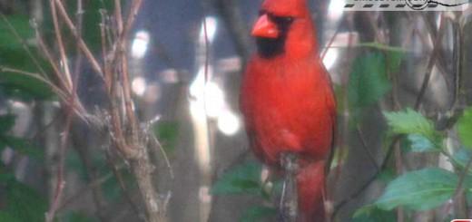 cardinal-16008