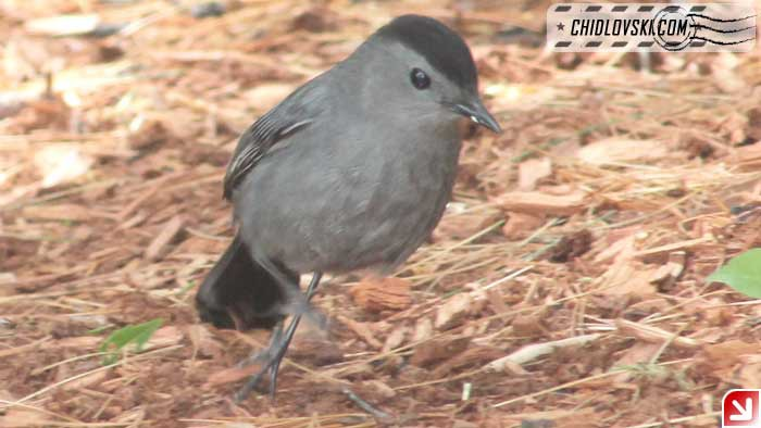 catbird-16004
