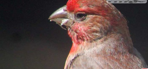 finches-16002