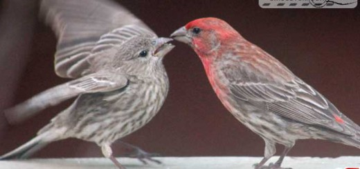 finches-16003