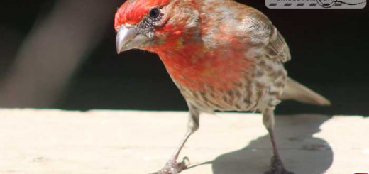finches-16004