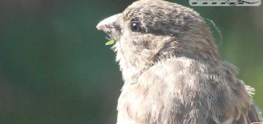 finches-16006